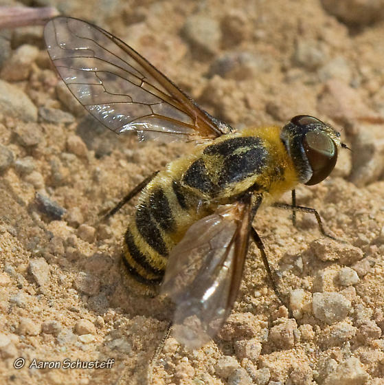 Bee Fly filling