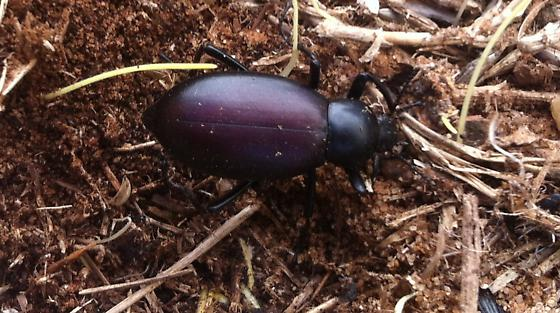 Stink beetle - Eleodes