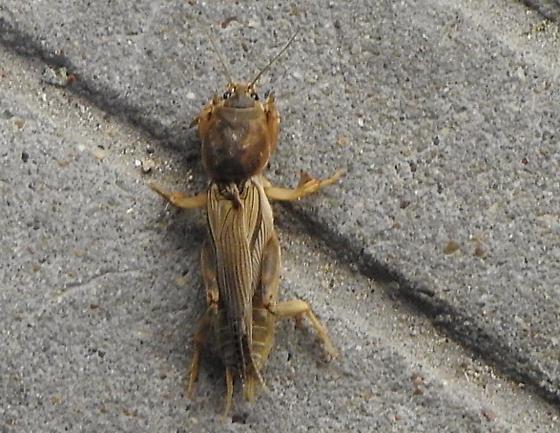 cricket - Neoscapteriscus vicinus