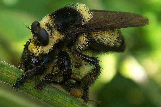 Southern Bee Killer and prey - Mallophora orcina