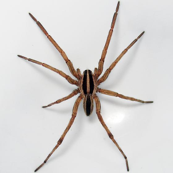 Spiders Of Missouri Missouris Natural Heritage