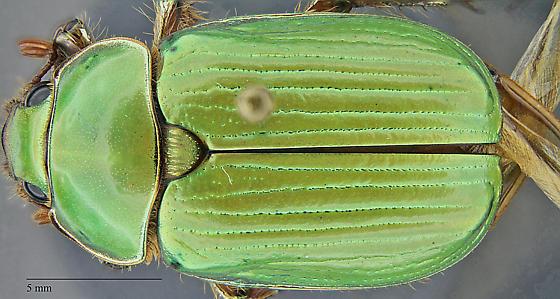 Chrysina lecontei - female
