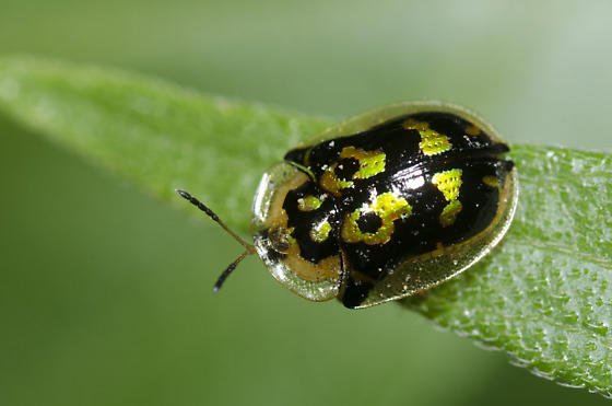 Tortoise Beetle - Deloyala lecontii