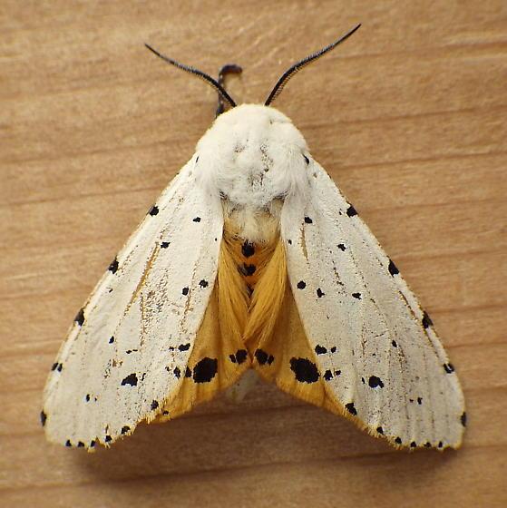Erebidae: Estigmene acrea - Estigmene acrea