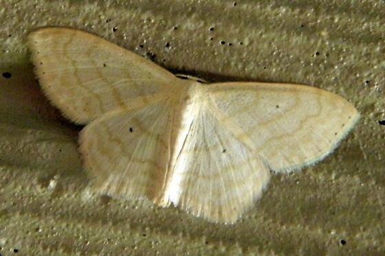 Large Lace-border - Hodges #7159 - Scopula limboundata