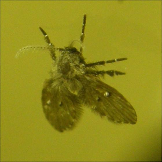 Small fly - Clogmia albipunctata