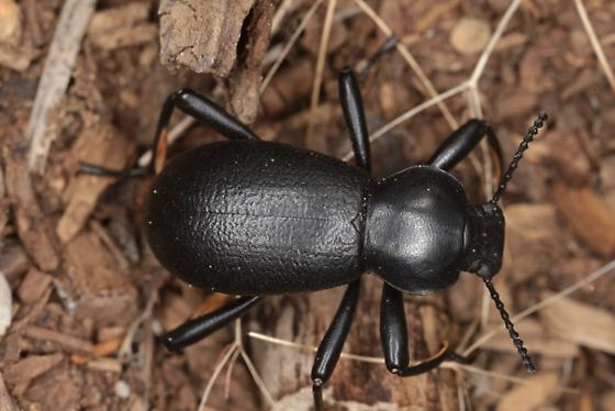 Coelocnemis californica