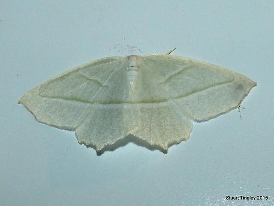 Pale Beauty Moth - Campaea perlata