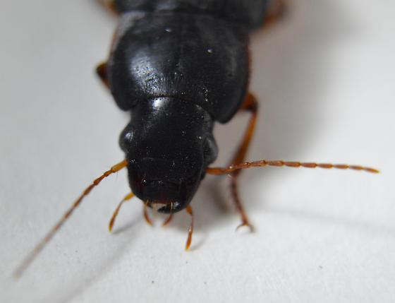 Ground Beetle - Harpalus - female