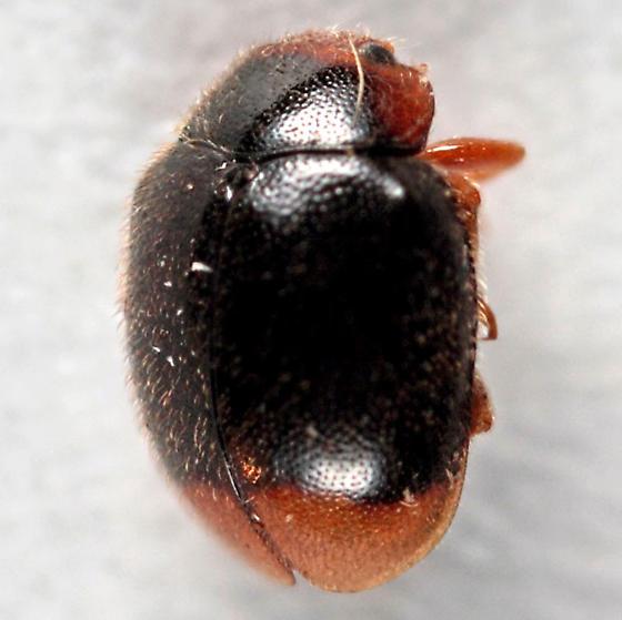 LRB (little round beetle) again - Scymnus - male
