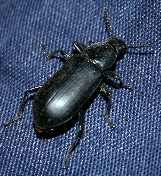 Beetle ID Request - Alobates pensylvanica