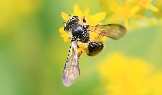 Andrena with skinny waist - Andrena nubecula