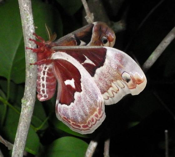 Callosamia promethea - female