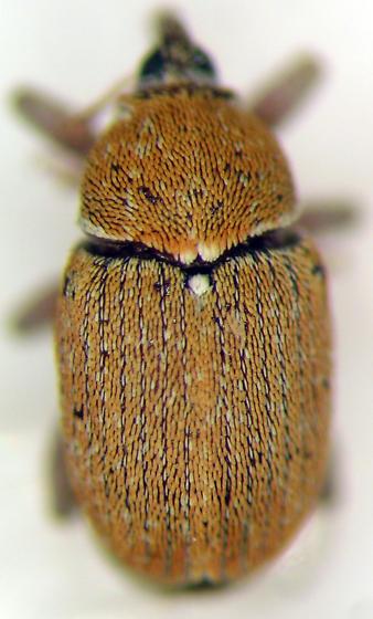 Sibinia fulva