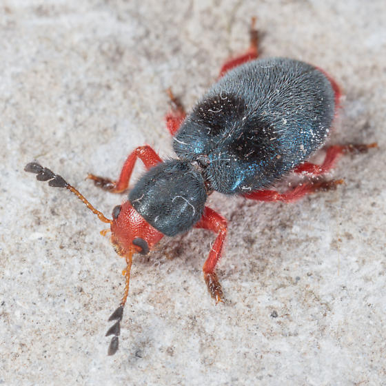 Beetle with bright red legs - Chariessa vestita