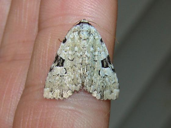 A white green? - Leuconycta diphteroides