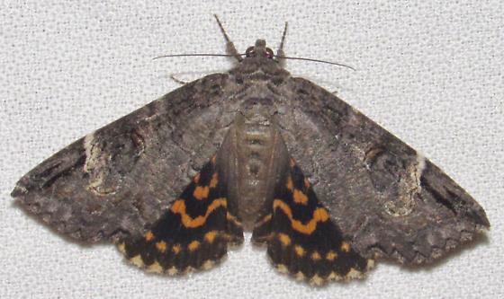 Euparthenos nubilis - Locust Underwing - Euparthenos nubilis