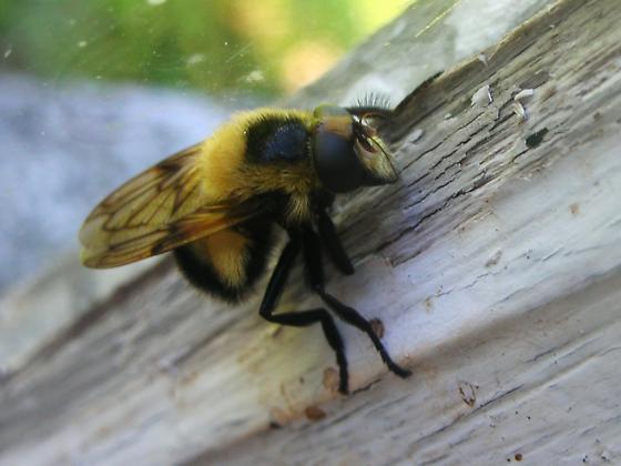 Bumble Bee - Volucella bombylans-complex