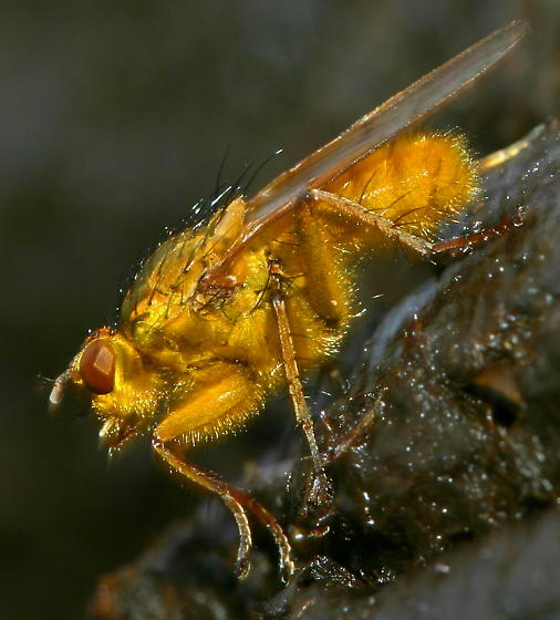 A Single Dung Fly - Scathophaga stercoraria