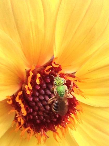 Lime green bee - Agapostemon virescens