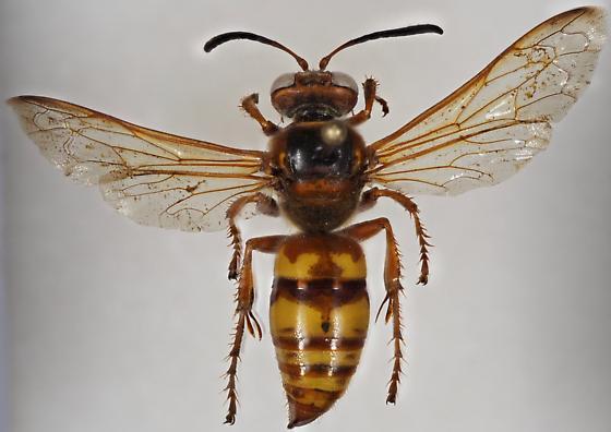 Western Cicada Killer - Sphecius grandis