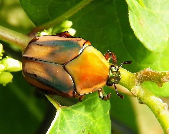 Green June Beetle - Cotinis nitida