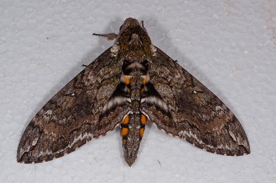 Sphinx moth - Manduca sexta