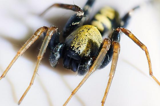 Yellow ground spider - Castianeira