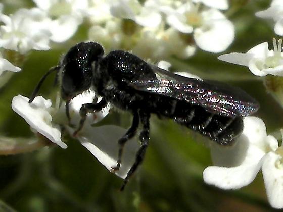 Elk Rock Bee - Heriades - female