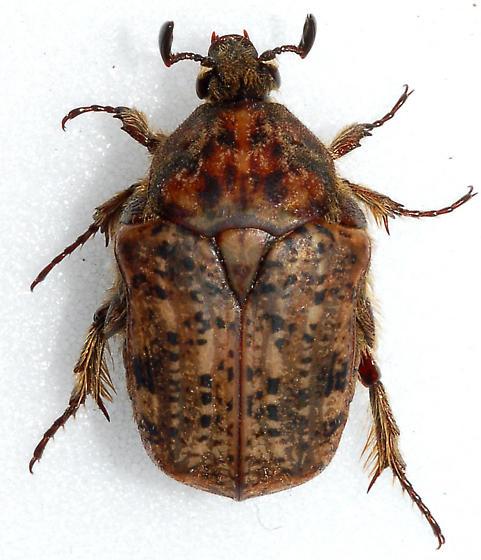 Hairy Flower Beetle - Euphoria inda