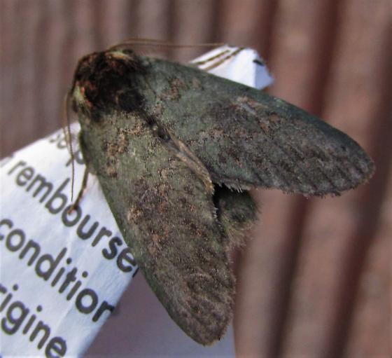 Species Heterocampa biundata - Wavy-Lined Heterocampa - Hodges#7995