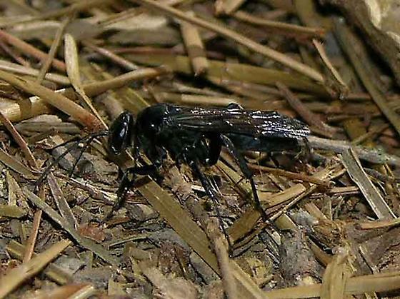 Paralyzed Orb Weaver - Episyron biguttatus