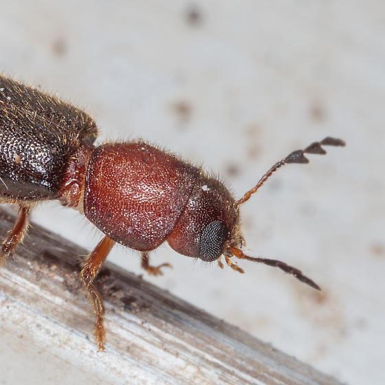 Neorthopleura sp.? - Neorthopleura texana