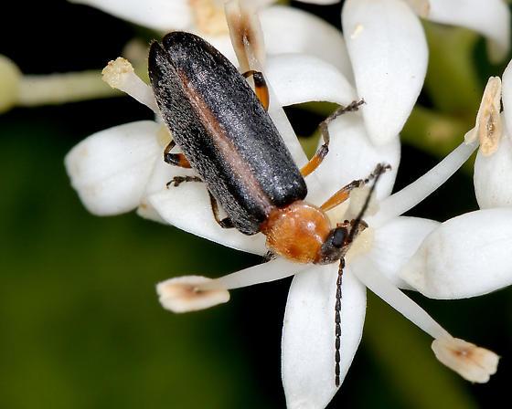 Unknown soldier beetle - Osphya varians