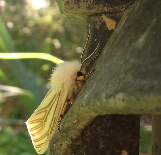 Beautiful furry moth - Seirarctia echo