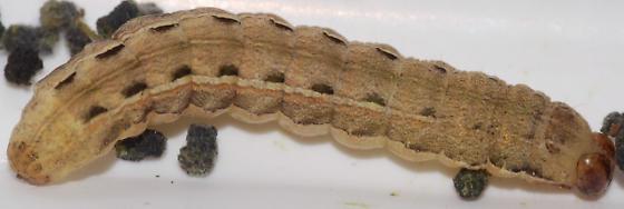 Caterpillar - 10/6/08 - Noctua pronuba