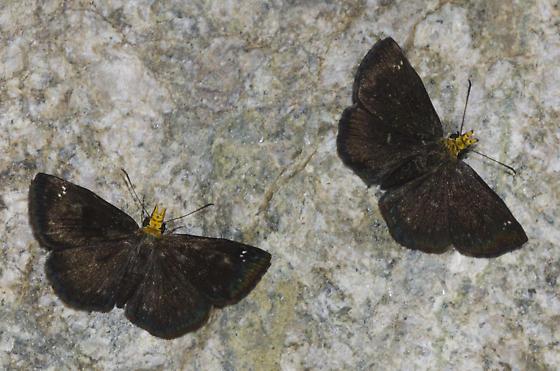 Golden-headed Scallopwings - Staphylus ceos - male