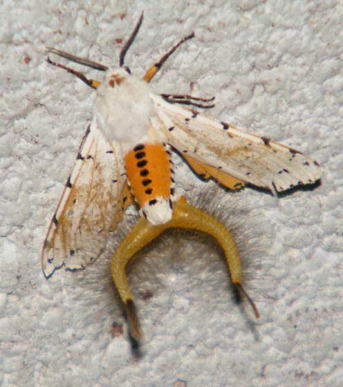 Salt Marsh Moth - Estigmene acrea - male