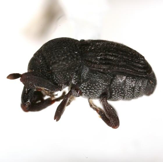 Laemosaccus texanus Champion - Laemosaccus texanus