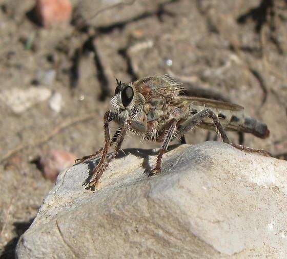 Robber fly - Scleropogon picticornis - female