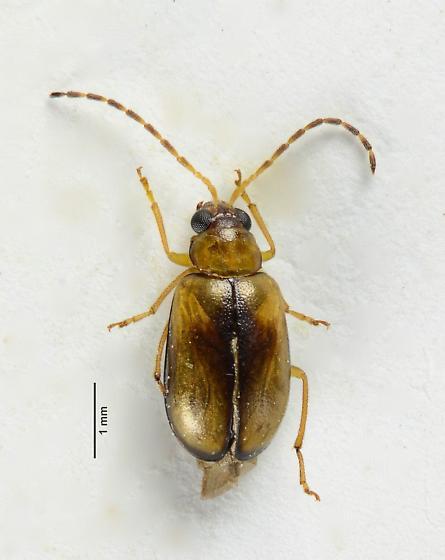 Luperini of sorts? - Metrioidea varicornis