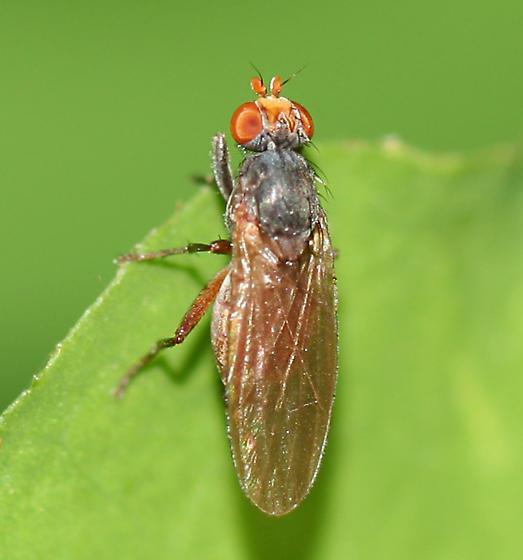 fly - Pherbellia