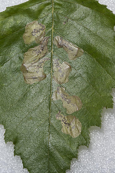 River birch leaf mines - Profenusa thomsoni