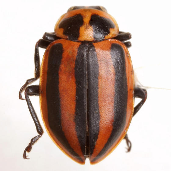 Paranaemia vittigera (Mannerheim) - Paranaemia vittigera