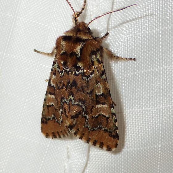 Feralia jocosa- brown form - Feralia jocosa