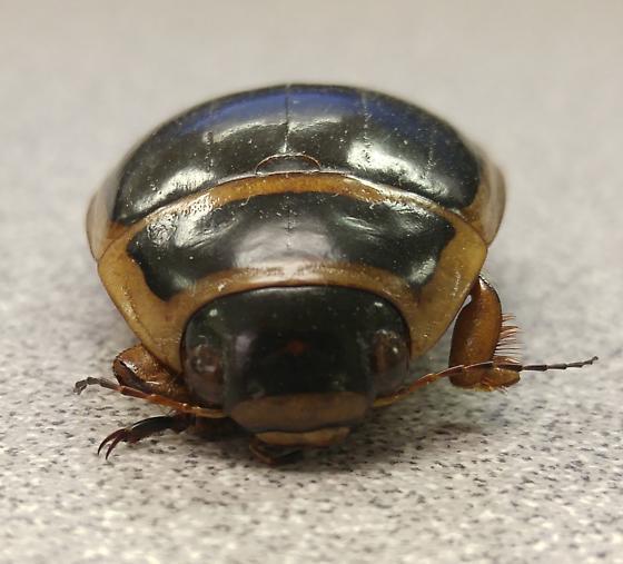 Beetle - Dytiscus harrisii