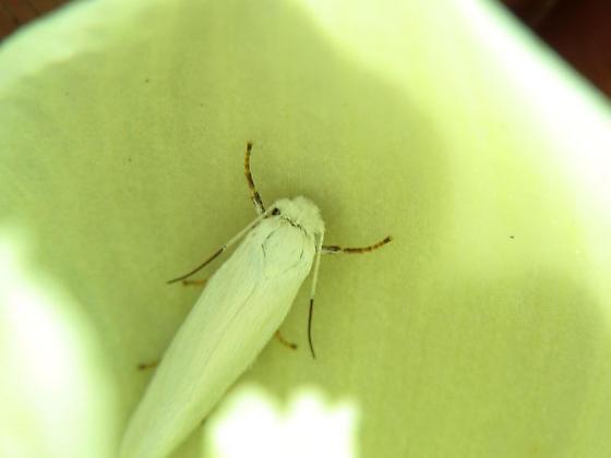 Yucca Moth - Prodoxus decipiens