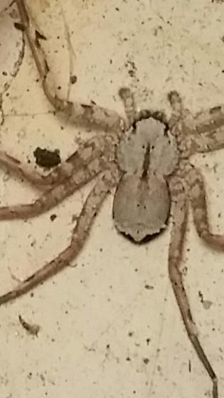 unknow spider - Selenops