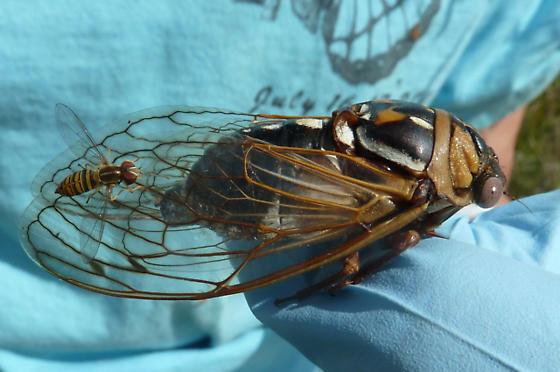 Syrphidae? flower fly - Megatibicen dorsatus
