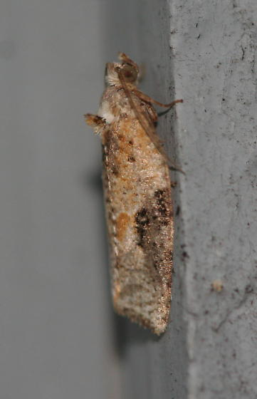 Unknown Moth - Acleris